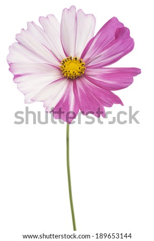 Studio Shot of White and Magenta Colored Cosmos Flower Isolated on White Background. Large Depth of Field (DOF). Macro.
