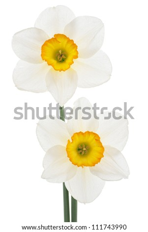 Studio Shot of White Colored Daffodil Flowers Isolated on White Background. Large Depth of Field (DOF). Macro. Symbol of Self-love and Respect. - stock photo