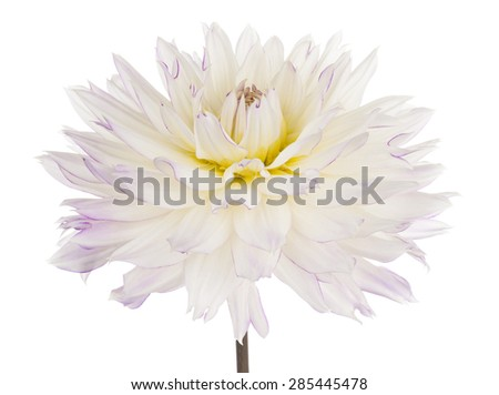Studio Shot of White Colored Dahlia Flower Isolated on White Background. Large Depth of Field (DOF). Macro. Symbol of Elegance, Dignity and Good Taste. - stock photo