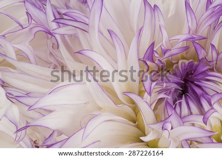 Studio Shot of White Colored Dahlia Flowers Background. Macro. Symbol of Elegance, Dignity and Good Taste. - stock photo