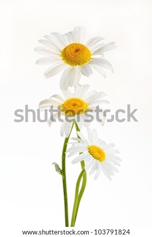 Studio shot of white colored daisy