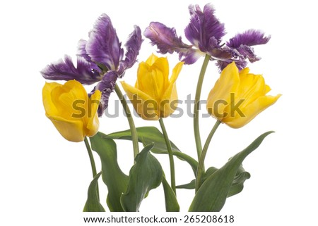 Studio Shot of Yellow and Blue Colored Tulip Flowers Isolated on White Background. Large Depth of Field (DOF). Macro. National Flower of The Netherlands, Turkey and Hungary. - stock photo