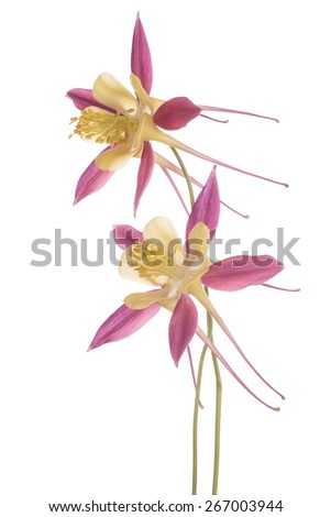 Studio Shot of Yellow and Red Colored Columbine Flowers Isolated on White Background. Large Depth of Field (DOF). Macro. - stock photo