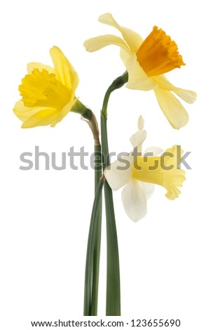 Studio Shot of Yellow and White Colored Daffodil Flowers Isolated on White Background. Large Depth of Field (DOF). Macro. Symbol of Self-love and Respect. - stock photo