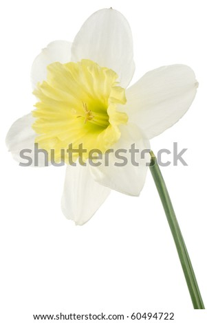 Studio Shot of Yellow and White Colored Daffodil Isolated on White Background. Large Depth of Field (DOF). Macro. Symbol of Self-love and Respect. - stock photo
