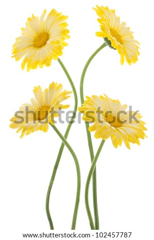 Studio Shot of Yellow Colored Calendula Flowers Isolated on White Background. Large Depth of Field (DOF). Macro. Sacred Flower of Ancient India.
