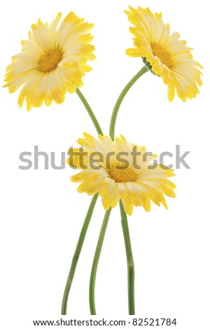 Studio Shot of Yellow Colored Calendulas  Isolated on White Background. Large Depth of Field (DOF). Macro. Sacred Flower of Ancient India.