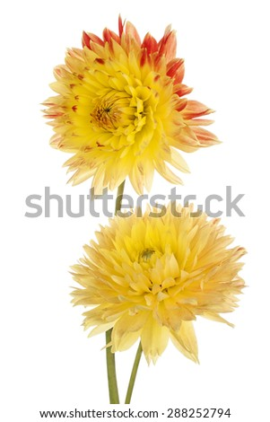Studio Shot of Yellow Colored Dahlia Flowers Isolated on White Background. Large Depth of Field (DOF). Macro. Symbol of Elegance, Dignity and Good Taste. - stock photo