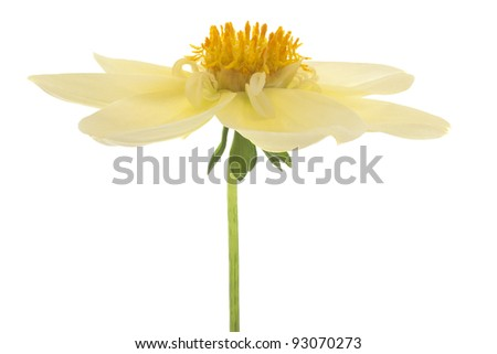 Studio Shot of Yellow Colored Dahlia Isolated on White Background. Large Depth of Field (DOF). Macro. Symbol of Elegance, Dignity and Good Taste.