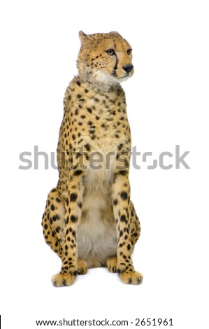 studio Shots of Cheetah sitting in front on a white background. All my pictures are taken in a photo studio - stock photo