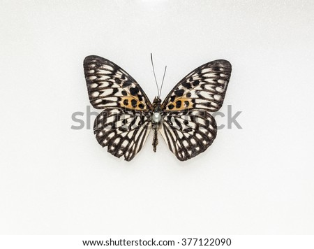 Stuffed insect Butterfly - stock photo
