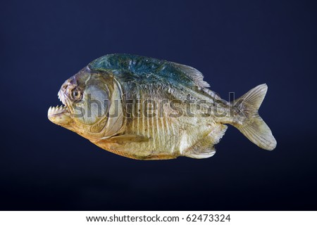 Stuffed piranha fish, side view - stock photo