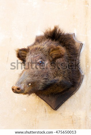 Stuffed wild boar head on a wall in Volterra, Tuscany, Italy