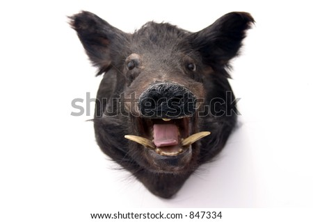 stuffed wild pig head on white - stock photo