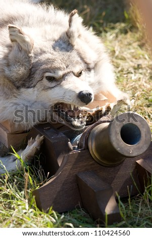 Stuffed wolf is lying on the old cannon - stock photo