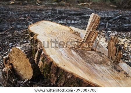 Stump of the cut tree, next to a tractor transporting logs. - stock photo