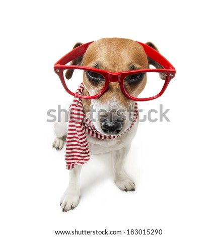 stunned stylish small dog strictly looks through his glasses in a striped fashion scarf. Pet fashion. White background. Studio shot - stock photo