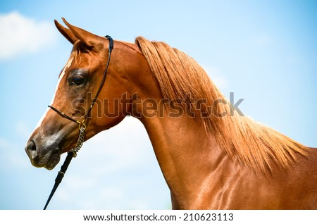 stunning arab horse portrait from a side angle
