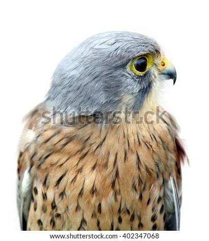 stunning bird of prey isolated on white  - stock photo