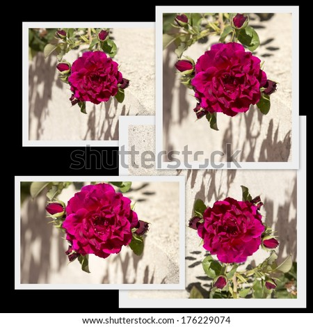 Stunning collage presentation on black background of a beautiful  cerise pink heritage rose in glorious late summer bloom against a concrete rendered wall  adds scented beauty to a suburban landscape. - stock photo