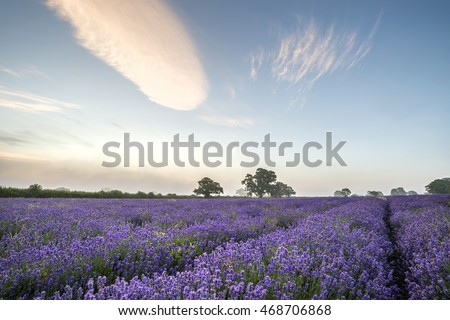 Stunning dramatic foggy sunrise landscape over lavender field in English countryside