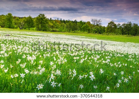 Stunning field of daffodils blooming in early summer on a wonderful cloudy day - stock photo