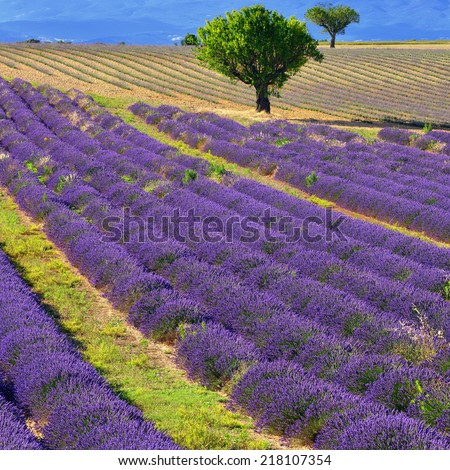 Stunning landscape with lavender field and big tree. Plateau of Valensole, Provence, France