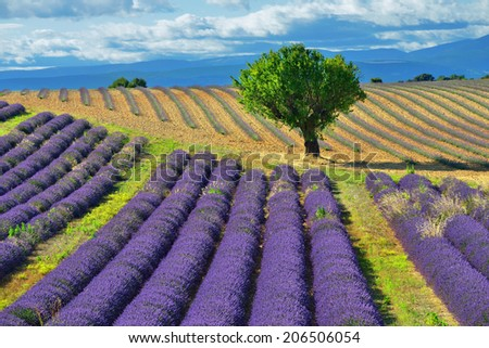 Stunning landscape with lavender field and big treet. Plateau of Valensole, Provence, France  - stock photo