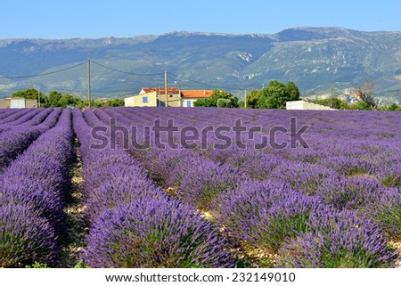 Stunning landscape with lavender field and farmhouse on background at sunset time, Provence, France, Valensole - stock photo
