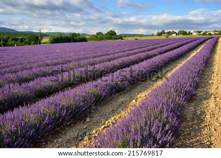 Stunning landscape with lavender field at evening. Plateau of Sault, Provence, France