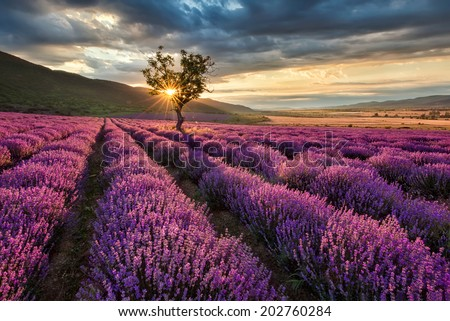 Stunning landscape with lavender field at sunrise - stock photo
