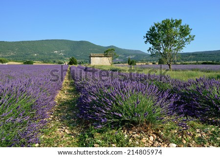 Stunning landscape with lavender field. Plateau of Sault, Provence, France