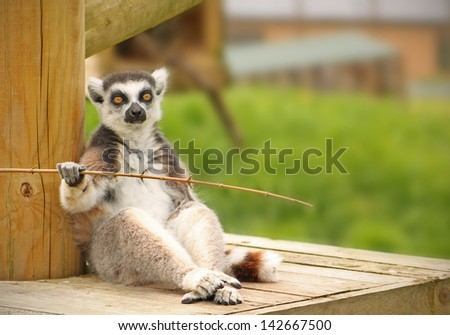 Stunning photo of a ring tailed Lemur sitting on a wooden platform staring straight at the camera - stock photo