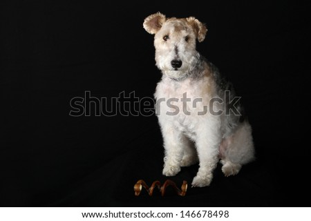 Stunning Portrait of a Wire Fox Terrier - stock photo