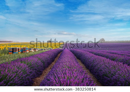 Stunning rural landscape with lavender field, sunflower field and Bee hives on background. Plateau of Valensole, Provence, France - stock photo