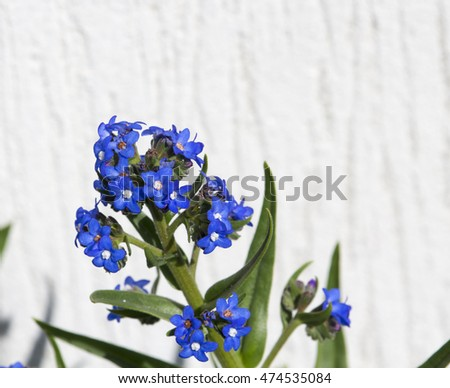 Stunning  sky blue flowers of Myosotis a genus of flowering plants in the family Boraginaceae Forget-Me-Nots blooming in  winter are a  colorful  addition to the garden landscape attracting bees.