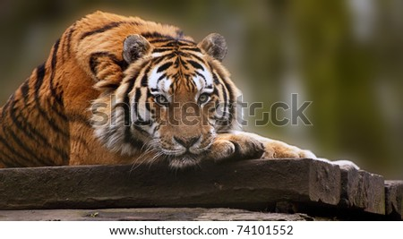 Stunning tiger relaxing on warm day with head on front paws - stock photo