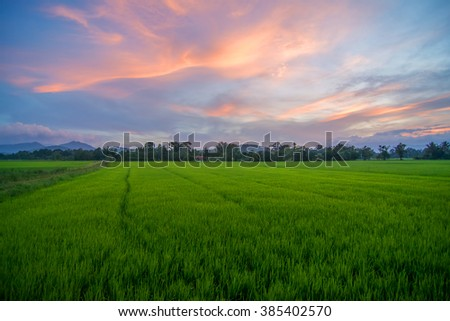 Stunning view of paddy field during sunset with blue sky