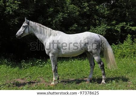 Stunning white horse in the sun - stock photo