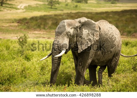Stunning wildlife photography with large elephant in the african savanna during the rainy season - stock photo