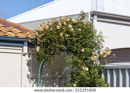 Stunningly  magnificent romantic beautiful buff yellow and  and pale pink  climbing  rose over a metal arch blooming in early spring   adds fragrant charm to the garden scape .