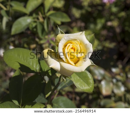 Stunningly  magnificent romantic beautiful delicate yellow hybrid tea    rose blooming in  late  summer  adds fragrant charm to the garden scape with its delicate form and shape. - stock photo