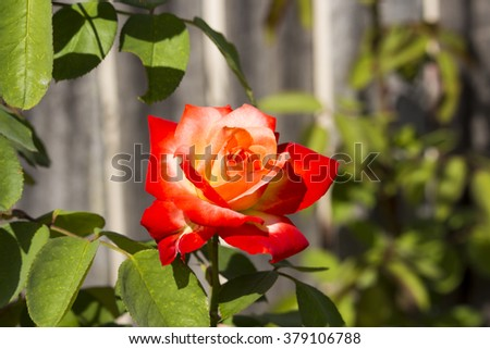 Stunningly  magnificent romantic beautiful  orange  , red  and yellow toned hybrid tea   rose blooming  in  late summer adds fragrance and color to the urban  landscape. - stock photo