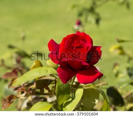 Stunningly  magnificent romantic beautiful  velvety red  hybrid tea   rose blooming  in  late summer adds fragrance and color to the urban  landscape. - stock photo