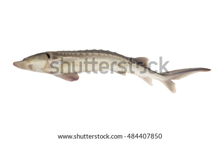 Sturgeon fish isolated on white