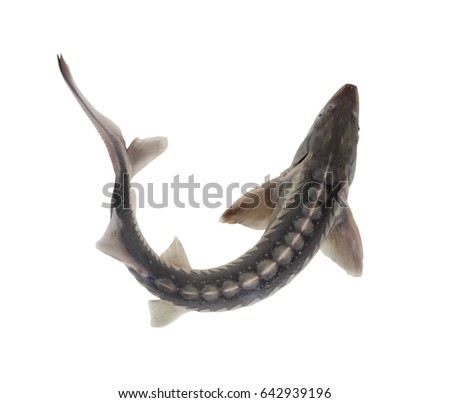 stock-photo-sturgeon-fish-isolated-on-wh