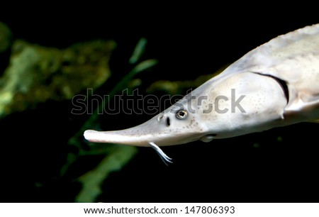 sturgeon fish, the view through the glass of the aquarium