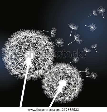 Stylish background with two white flowers dandelions on black background. Beautiful trendy romantic wallpaper.