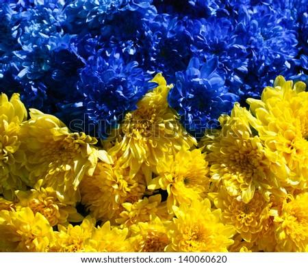 stylized national flag of ukraine with chrysanthemum flowers - stock photo