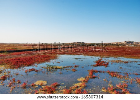 suaeda grass in Liaoning Province, China - stock photo